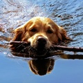1775049-water,animals,dogs,swimming