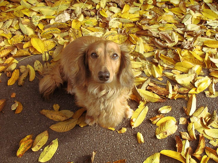 1776834-animals,leaves,dogs,mammals,fallen leaves.jpg