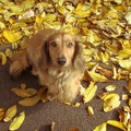 1776834-animals,leaves,dogs,mammals,fallen leaves
