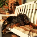 1780446-animals,dogs,bench,pets,setter,gordon setter