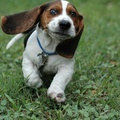 1781992-eyes,animals,dogs,funny,pets,hound,basset hound