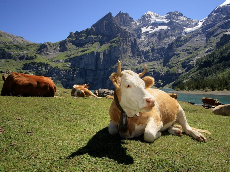 1782396-animals,outdoors,cows,Switzerland,mountains.jpg