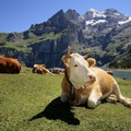 1782396-animals,outdoors,cows,Switzerland,mountains