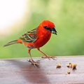1783913-cardinal,birds,animals