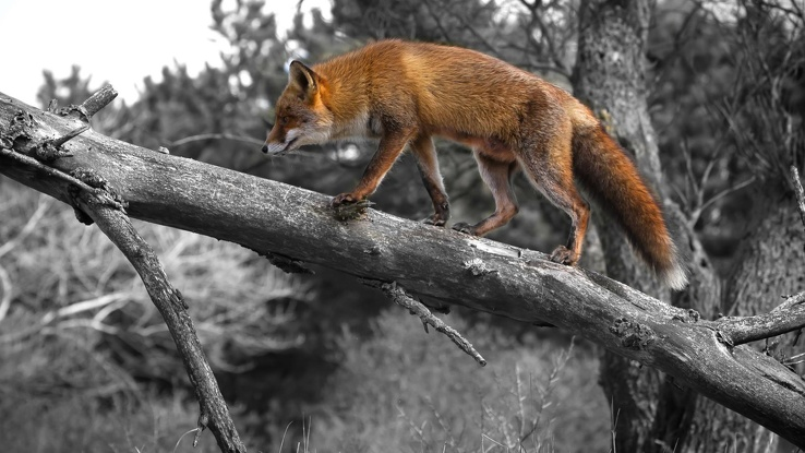 1790603-selective coloring,foxes.jpg