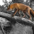 1790603-selective coloring,foxes
