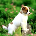 1794580-animals,dogs,puppies,pets