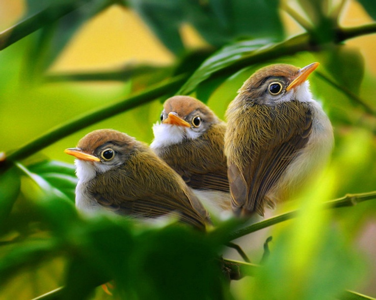 1798177-green,white,birds,leaves,brown,branches,baby birds.jpg