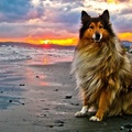 1803563-collie,sunset,beach,sea,rough