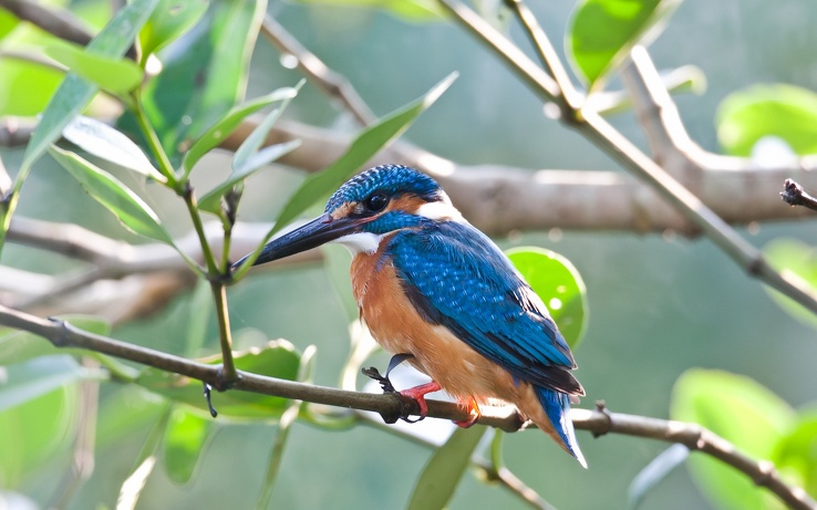 1807466-blue,birds,kingfisher,Rio.jpg