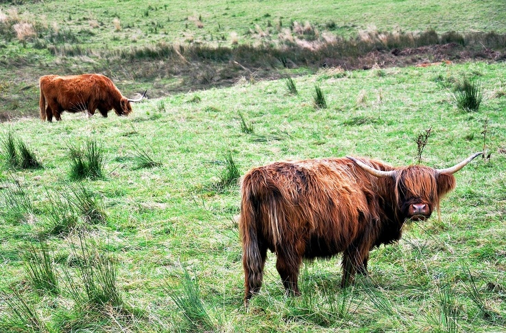 1811144-nature,animals,cows,Scotland,meadows,Highlands.jpg