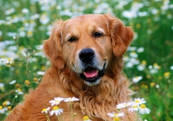 golden retriever resmi