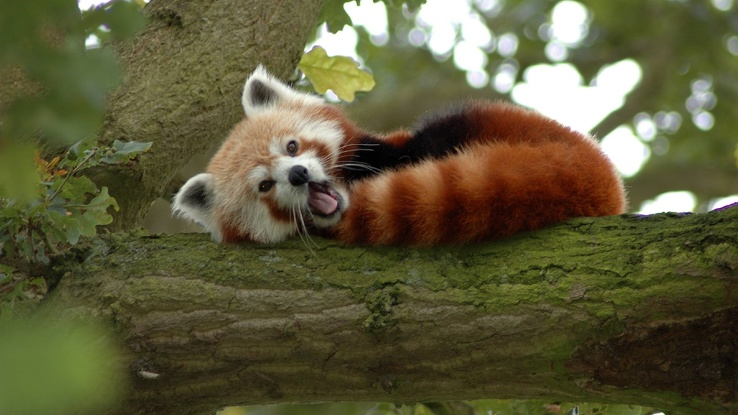 1819492-trees,animals,red pandas.jpg