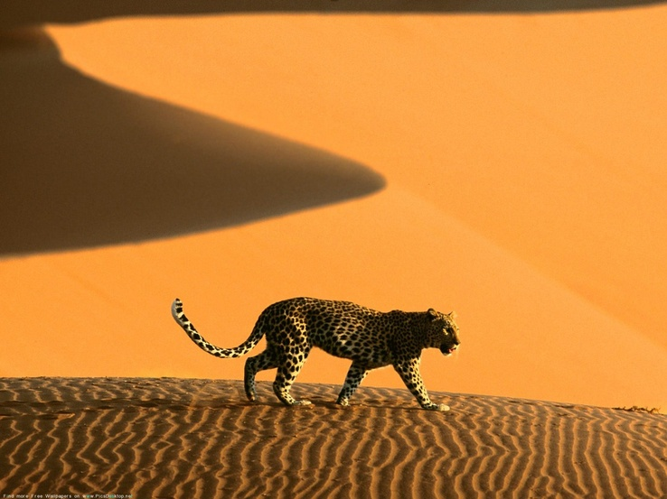 1831485-nature,animals,desert,leopards.jpg