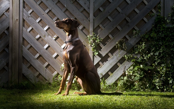 1831493-animals,dogs,pets,Doberman Pinscher,side view,doberman.jpg