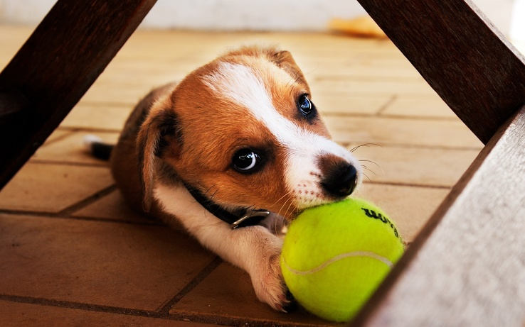 1831549-animals,dogs,balls.jpg