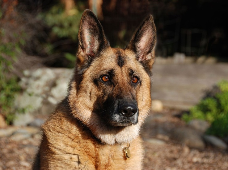 1832566-animals,dogs,outdoors,German Shepherd,pets.jpg