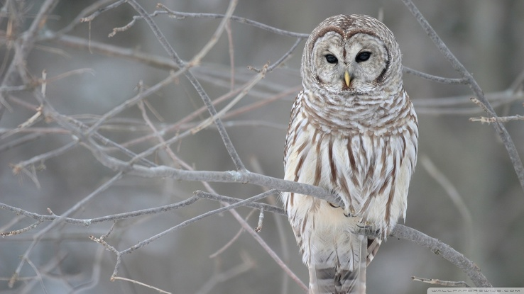 1836967-birds,white owl.jpg
