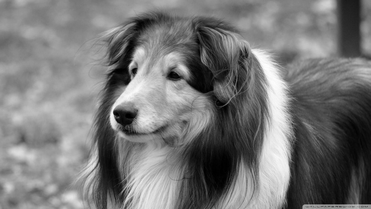 1836987-black and white,animals,dogs,collie,rough collie.jpg