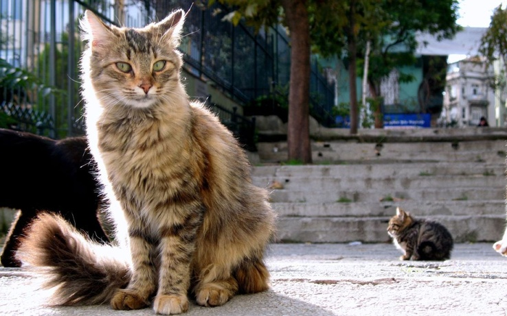 1739332-cats,fluffy,Istanbul.jpg
