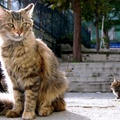 1739332-cats,fluffy,Istanbul