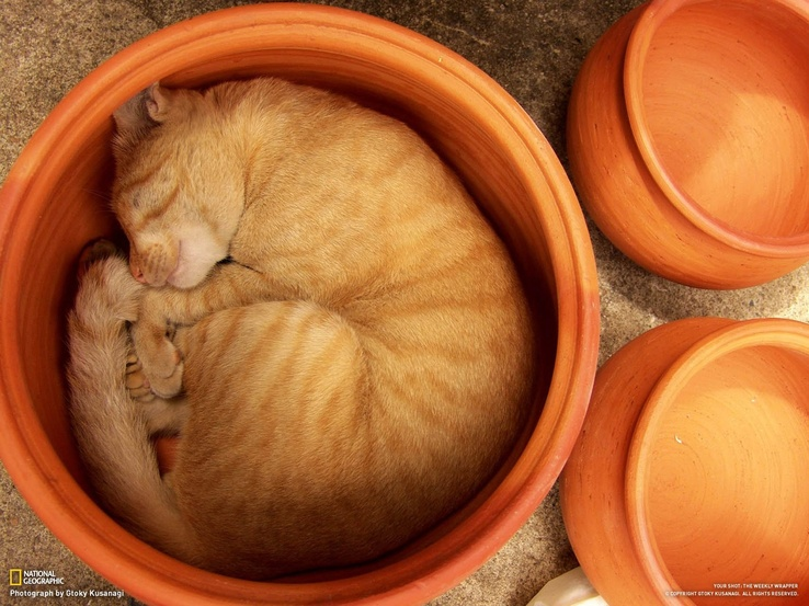 1749295-cats,animals,National Geographic,sleeping,flowerpot.jpg