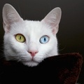 1771953-cats,heterochromia,Turkey,Turkish,van cat