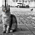 1831718-black and white,streets,cats,animals