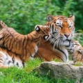 1846665-nature,cats,animals,tigers,wildlife