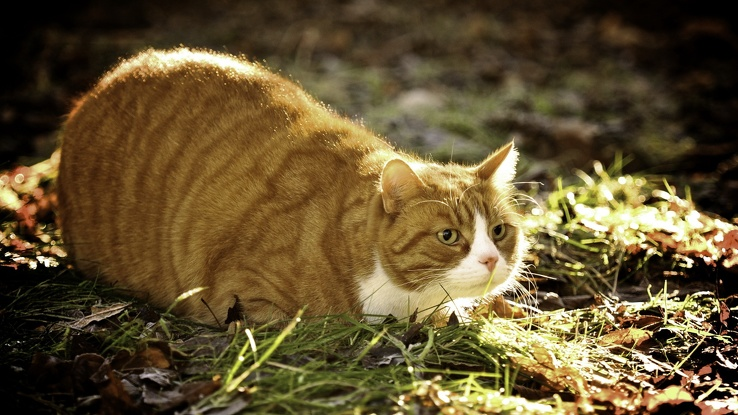1847740-nature,cats,animals,fat,outdoors,yellow eyes,Garfield,pets.jpg