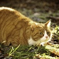1847740-nature,cats,animals,fat,outdoors,yellow eyes,Garfield,pets