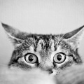 1853348-black and white,eyes,cats,animals,cat eyes