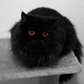 1865533-fur,amber eyes,eyes,black,cats,animals,Black Cat