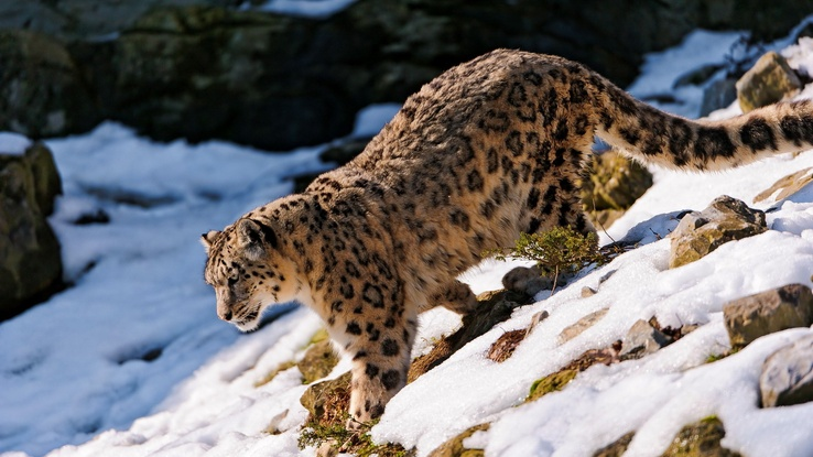 1900798-nature,cats,animals,snow leopards.jpg
