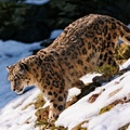 1900798-nature,cats,animals,snow leopards