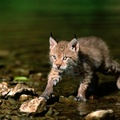 1914761-nature,cats,wildlife,lynx