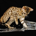 1918183-water,nature,cats,glass,kittens