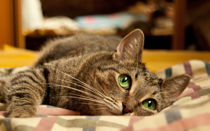 1951542-big eyes,cats,animals,green eyes,lying down.jpg
