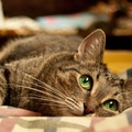 1951542-big eyes,cats,animals,green eyes,lying down