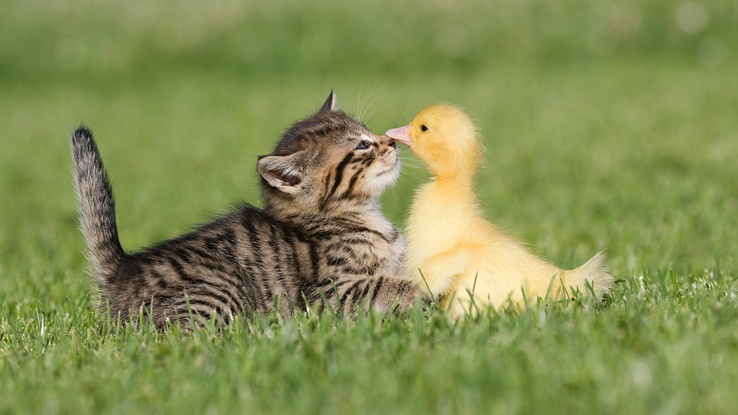 1953926-birds,cats,animals,ducks,duckling,kittens,baby birds.jpg