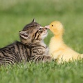 1953926-birds,cats,animals,ducks,duckling,kittens,baby birds