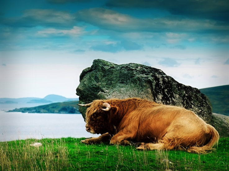 1971976-Scotland,Highland cattle,animals,rocks.png