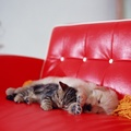 1982722-puppies,sleeping,kittens,string,labradors,couch,red,cats,dogs