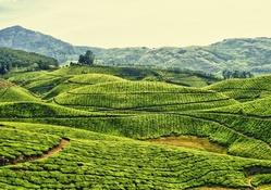 Geniş çay tarlaları manzarası
