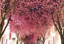 cherry blossom avenue-bonn-germany