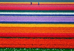 Tulip Fields-Holland-Lale alan-hollanda