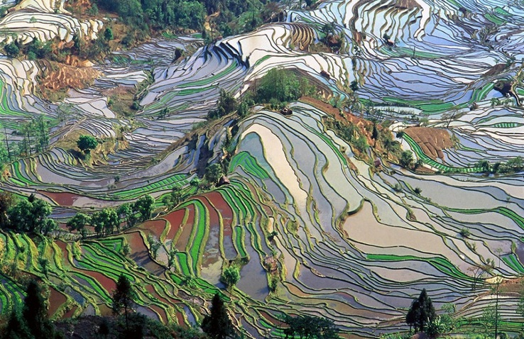 Rice fields in China - çindeki pirinç tarlası.jpg