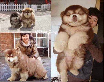 I CHUSKY (a cross bred between Chow Chow and Siberian Husky).jpg